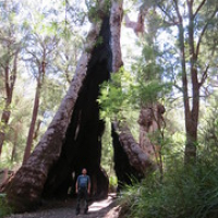 "Giant Tingle Tree, Valley of the Giants • <a style=""font-size:0.8em;"" href=""http://www.flickr.com/photos/50948792@N02/24723524036/"" target=""_blank"">View on Flickr</a>"